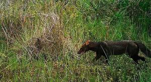 Encuentran en Perú un ejemplar de perro de monte que se creía en extinción