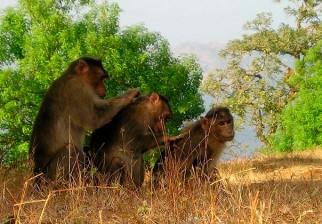 Los monos, al igual que los humanos, reducen su círculo de amistades a medida que envejecen