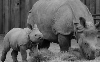 Proponen crear una reserva de rinocerontes en Australia para salvarlos de la caza furtiva. Foto: Pixabay