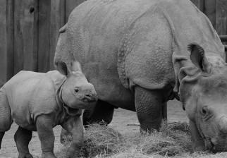 Proponen crear una reserva de rinocerontes en Australia para salvarlos de la caza furtiva