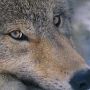 Castilla y León prohíbe tauromaquia pero permitirá cazar lobos salvajes