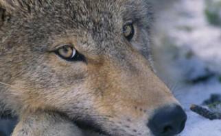 Canis Lupus, nombre científico de los lobos. Foto: Wikimedia Commons.