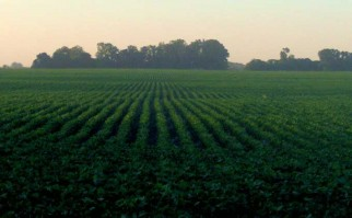 El área sembrada con soja en Uruguay se redujo casi 15% en la zafra 2015-2016.. Foto  ilustrativa Wiki Commons