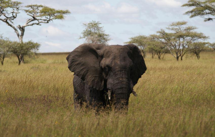 Elefante africano en el Parque Nacional Serenguetti, Tanzania. Foto: Flickr/CalleVH.