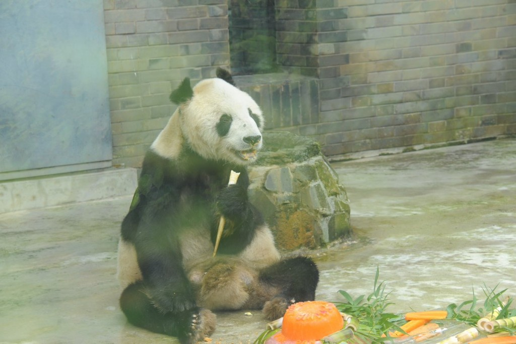 Murió el oso panda macho más viejo del mundo