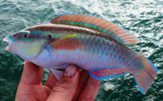 Pez loro rayado (Scarus iseri). Foto: mexican-fish.com.