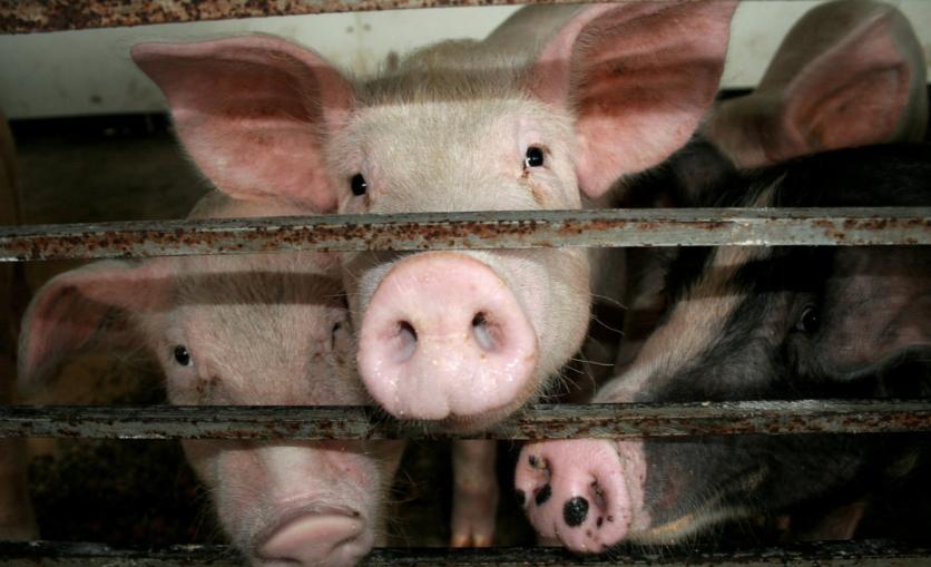 Cerdos confinados en una jaula en Misisipi. Foto: James Hill.