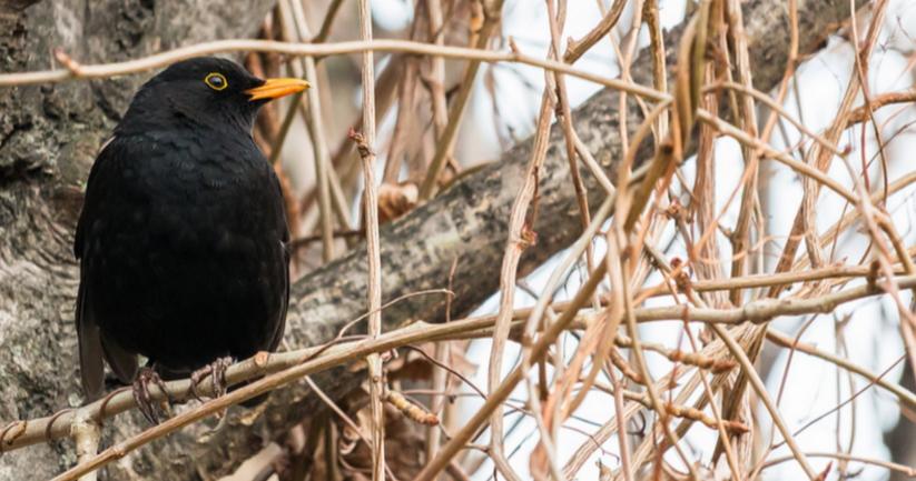 Mirló común, otra de las aves que está migrando antes de tiempo. Foto: Andreas Jeder.