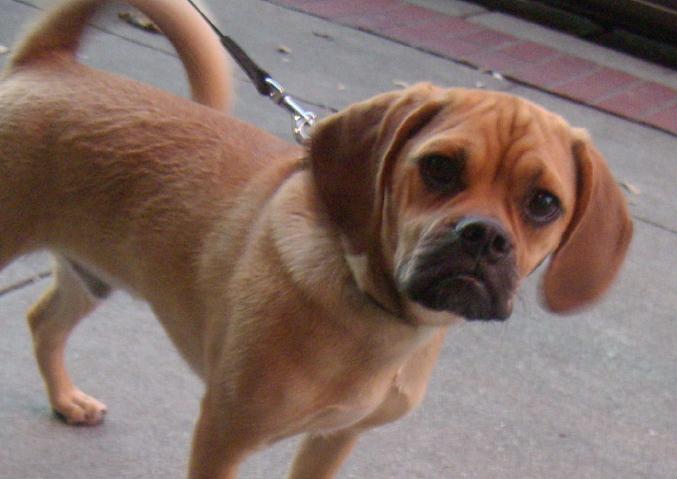 """Un perro """"Puggle"""", mezcla entre el Pug y el Beagle. Heredan problemas respiratorios por la deformidad de su nariz y garganta, además de las afecciones cutáneas de los Beagle. Foto: Darwin Bell."""