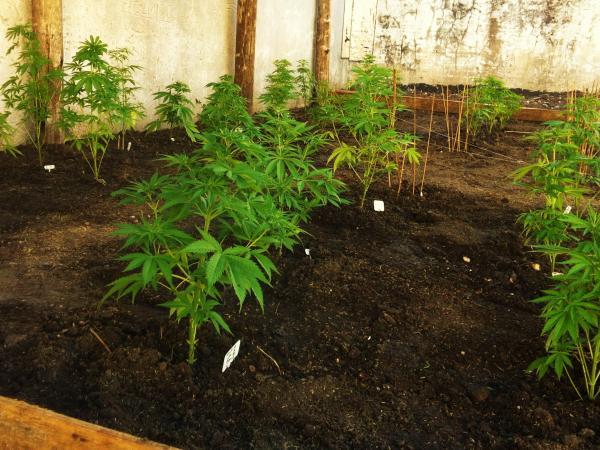 Curso sobre cannabis en el jard n bot nico noticias for Jardin botanico cursos