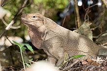 Iguana Cyclura pinguis