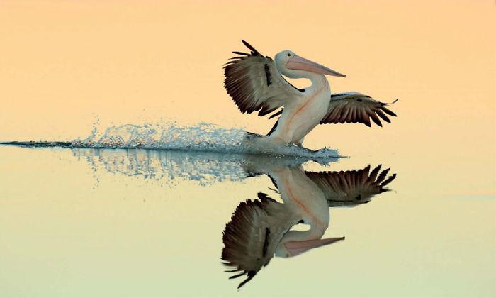 Por Bret Charman, Australia. Ganador Del Oro En La Categoría Pájaros Al Vuelo