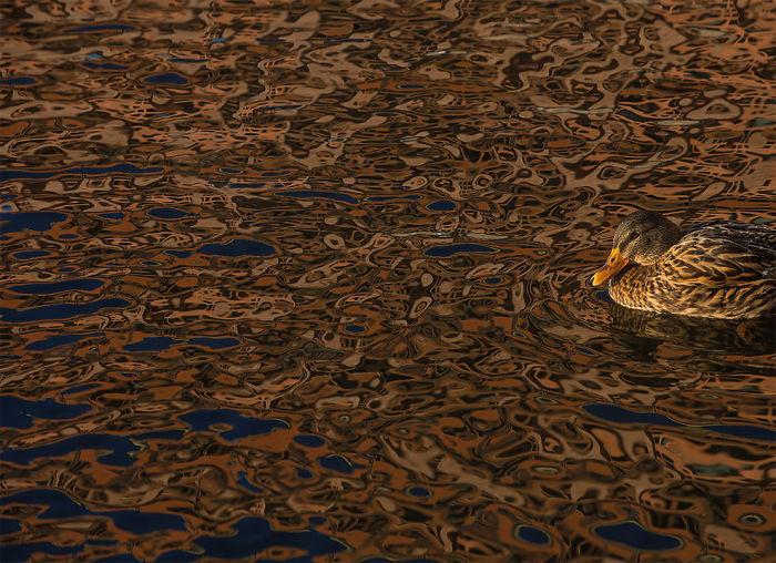 Por Daniel Stenberg, Suecia. Mención De Honor En La Categoría Pájaros En El Ambiente
