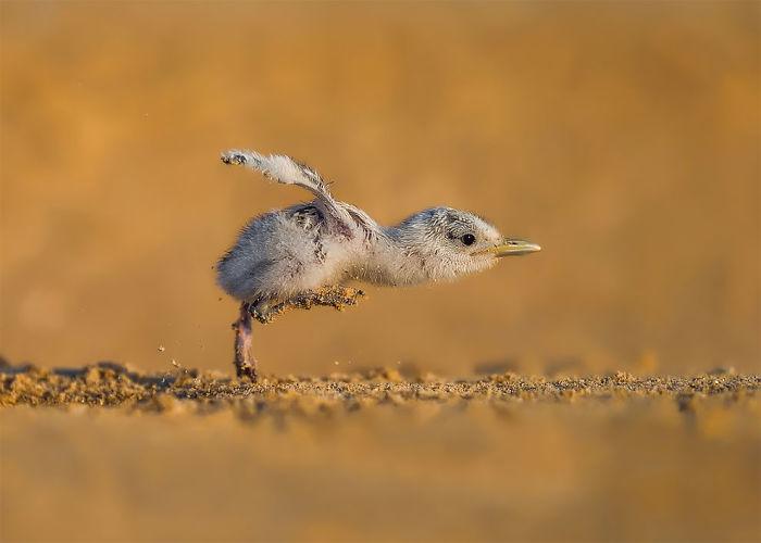 Por Faisal Alnomas, Kuwait. Categoría Comportamiento De Aves