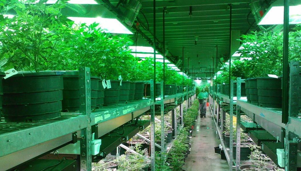 Plantas de cannabis en una plantación en California. Foto: Pixabay