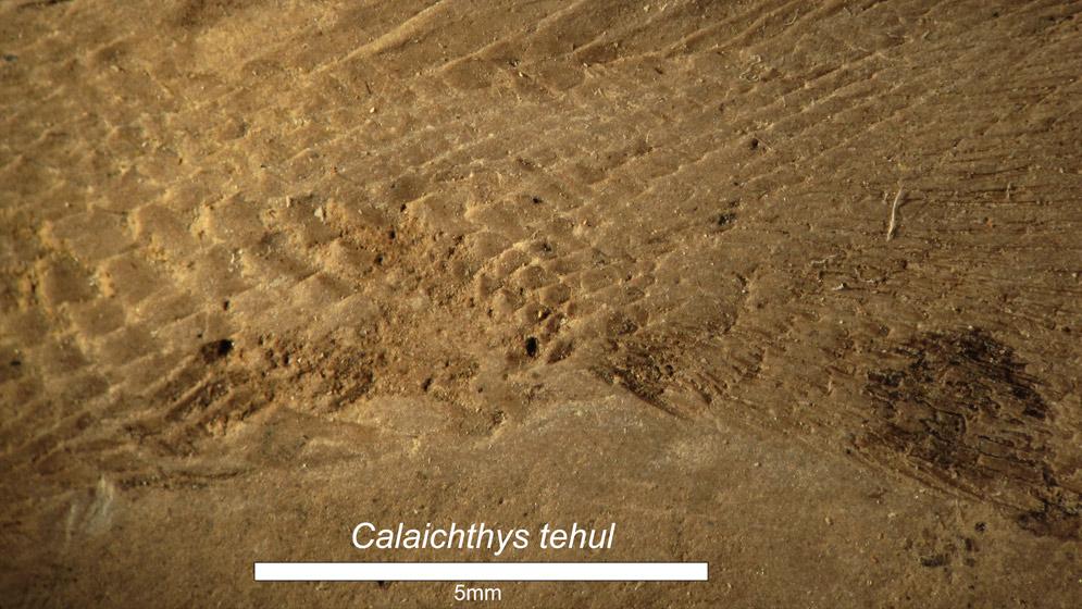 Detalle de las escamas de Calaichthys tehul. Foto: gentileza Soledad Gouiric Cavalli.