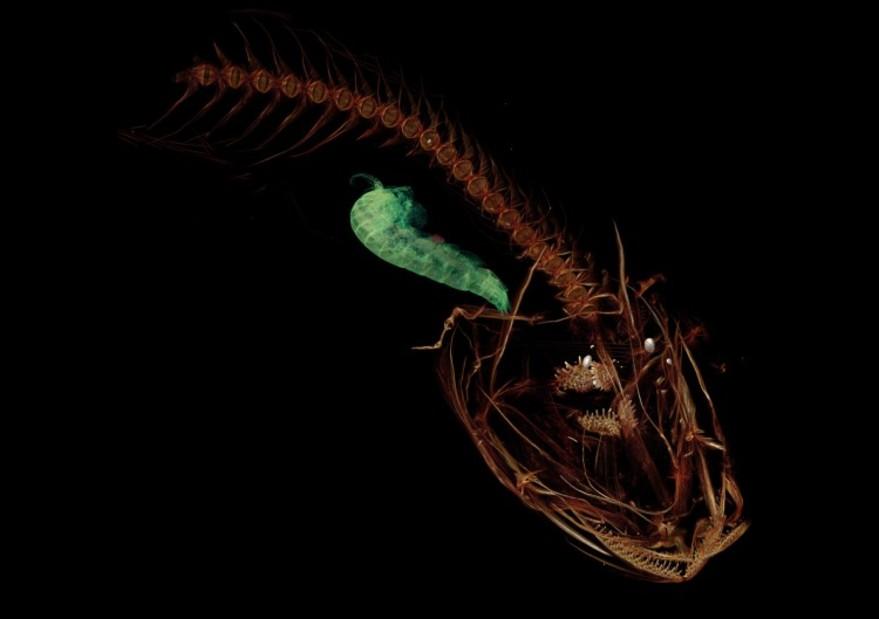 Tomografía computarizada muestra el esqueleto del pez más profundo del océano.