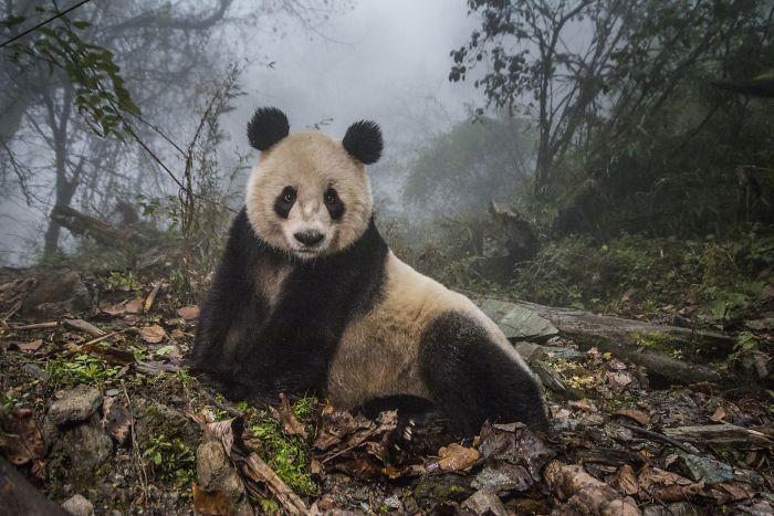 #13 Pandas Salvajes, Ami Vitale (2º En Animales En Su Ambiente)