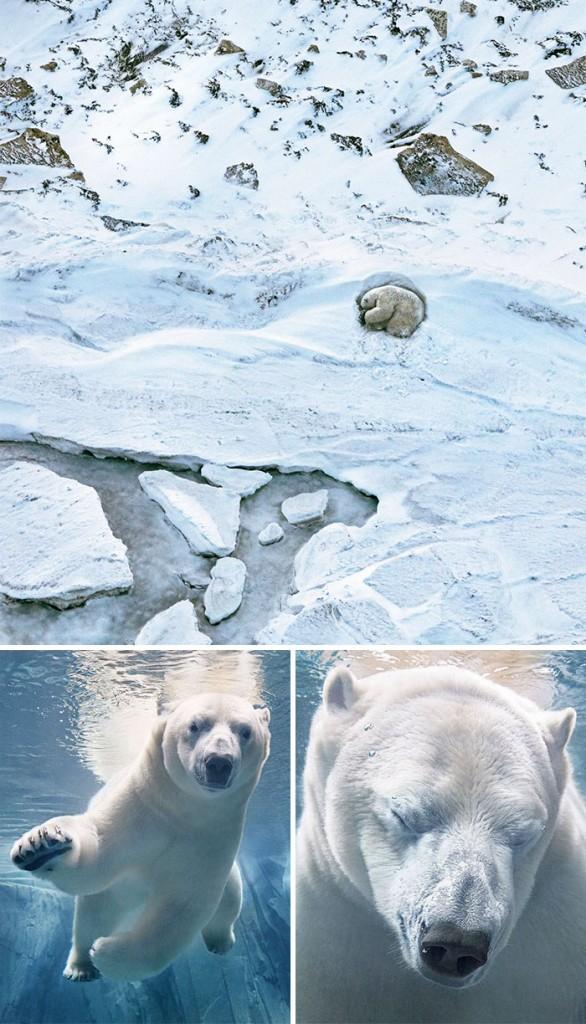 #1 Oso polar