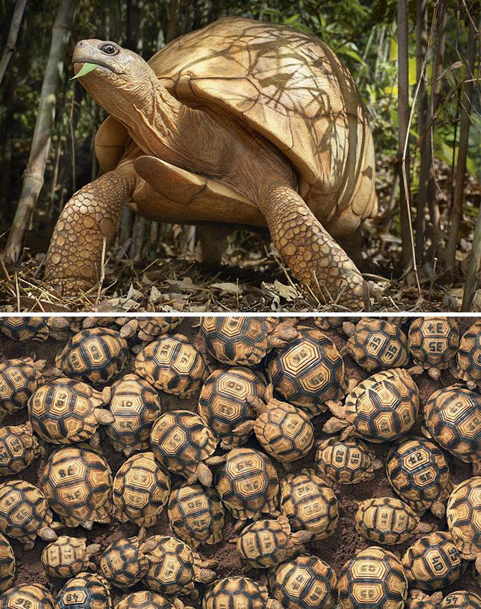 #13 Tortuga angonoka