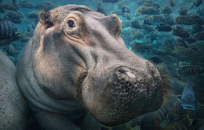 #16 Hipopótamo