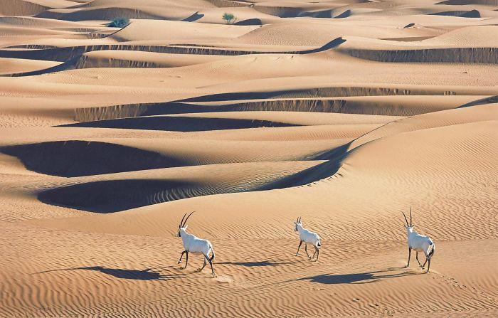 #33 Órix de Arabia