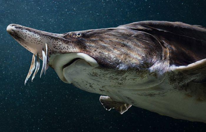 #35 Esturión beluga