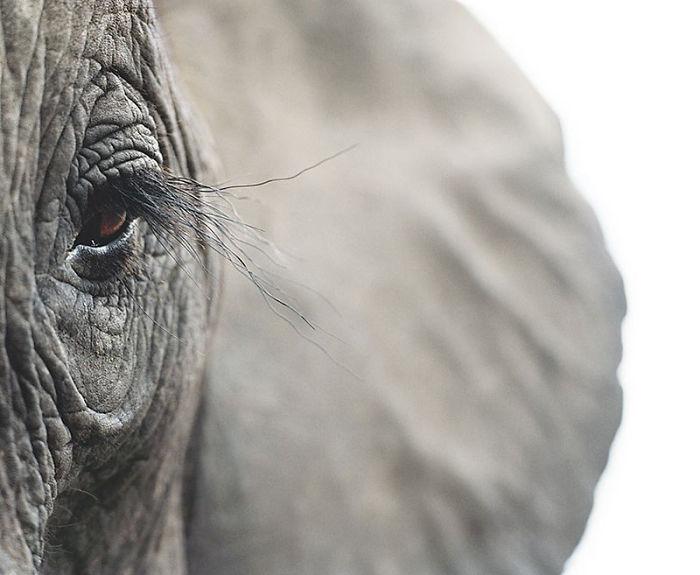 #4 Elefante africano