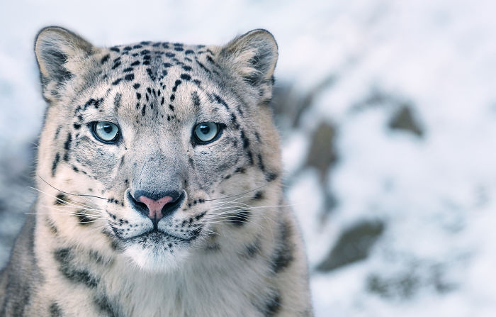 #5 Leopardo de las nieves