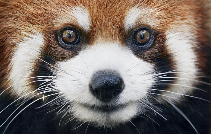 #7 Panda rojo