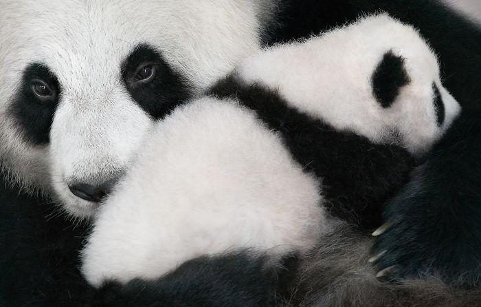 #8 Panda gigante