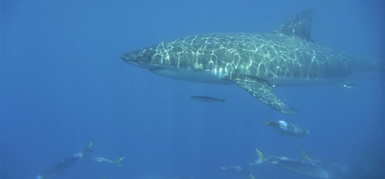tiburones (2)