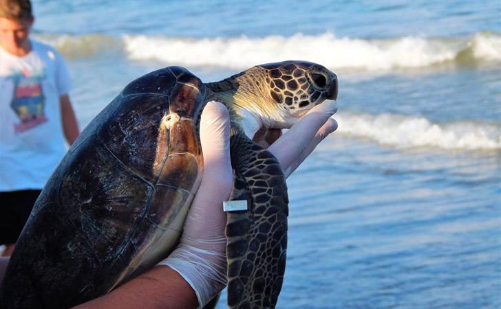 Tortuga es devuelta a las aguas de La Bahía Grande tras ser curada / Foto: Mabel Silvera