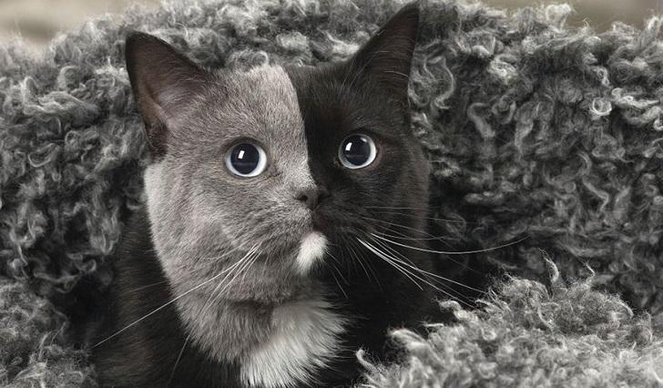 """Narnia, el """"gato de las dos caras"""" que enamora a la red."""