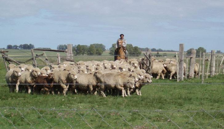 ovejas-campo
