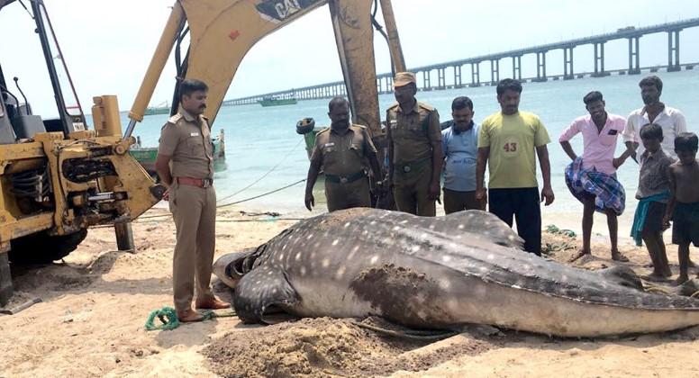 Un tiburón ballena yace muerto en una playa después de morir por una cuchara de plástico atascada en su sistema digestivo. Foto: Twitter @TOIChennai