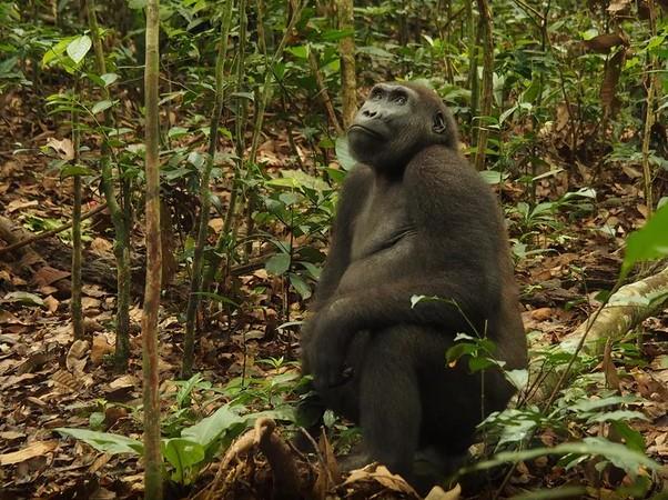 El gorila occidental de las tierras bajas es la subespecie más poblada. Foto: Forrest Hogg