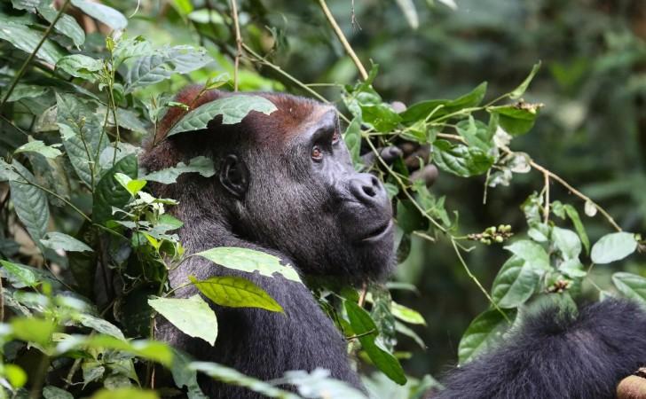 Un gorila occidental adulto. Foto: Zanne Labuschagne / World Conservation Society