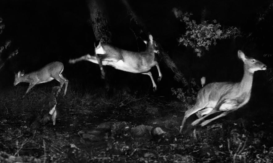 Ciervos de cola blanca se aventuran a tener actividad nocturna. Foto: George Shiras