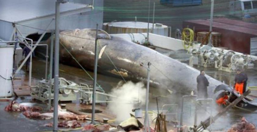 Ballena azul en peligro de extinción masacrada ilegalmente por empresa ballenera islandesa