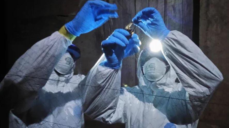 Científicos sacan muestras de sangre de murciélagos en Sierra Leona. Foto: Jaber Belkhiria / UC Davis