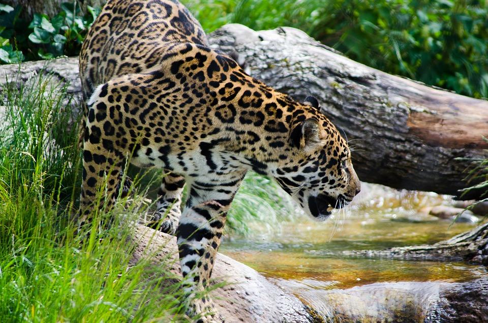 Jaguar, yaguar o yaguareté (Panthera Onca). Foto: Pixabay
