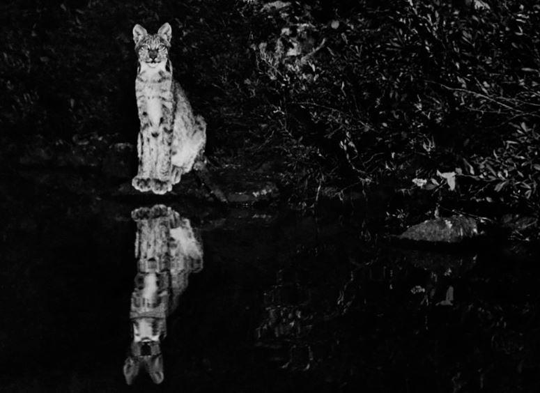 Un lince fotografiado de noche