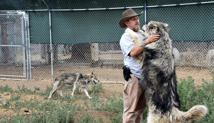 Lobos ayudan a tratar el estrés postraumático de los veteranos de guerra. Foto: EFE
