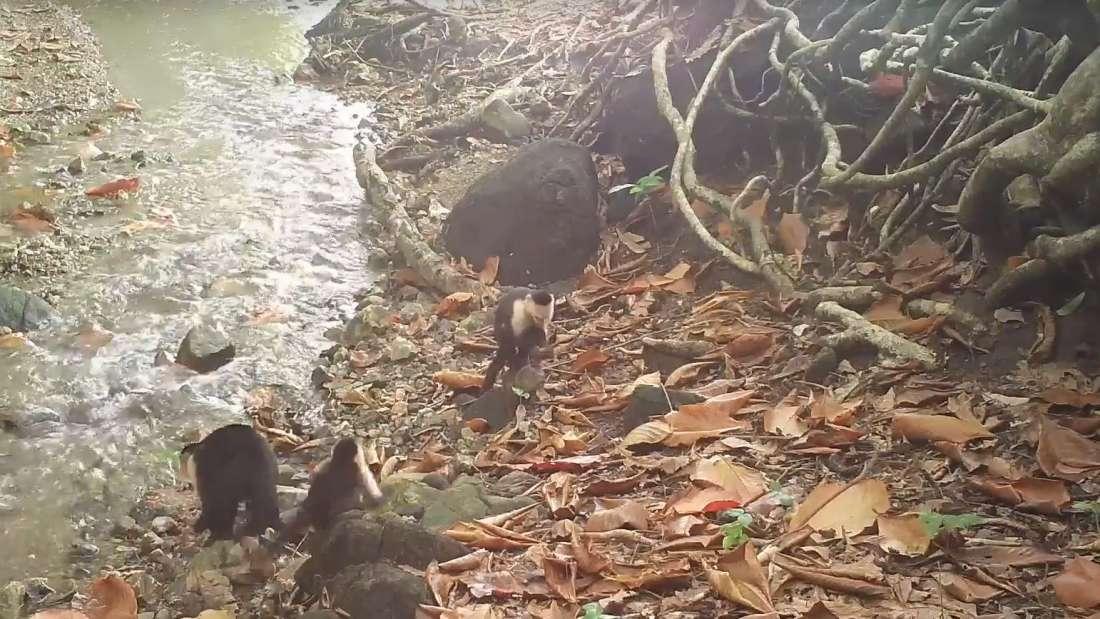 Panamá: Monos dan signos de haber iniciado su propia Edad de Piedra