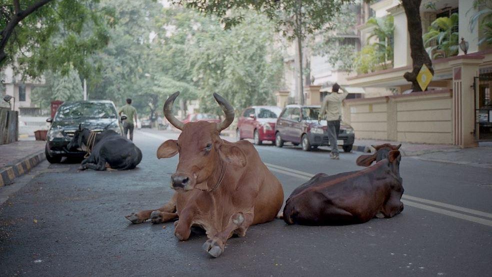 Vacas reposan tranquilamente en una calle de Bandra, Maharashtra, Bombai, India. Foto: David Ramos
