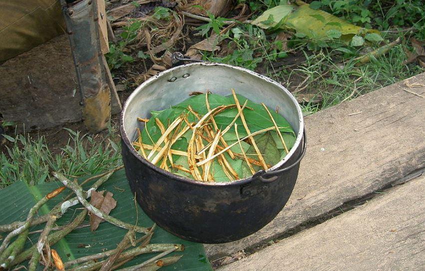 Preparación de la ayahuasca para luego ser hervida. Foto: Wikimedia Commons