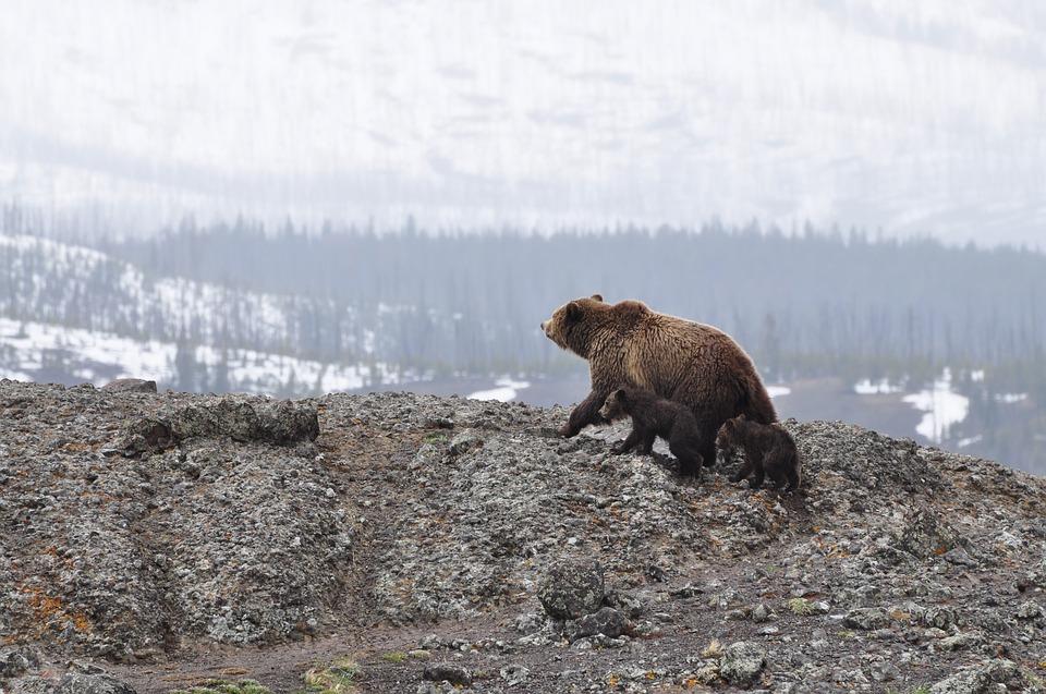 bears-1149459_960_720