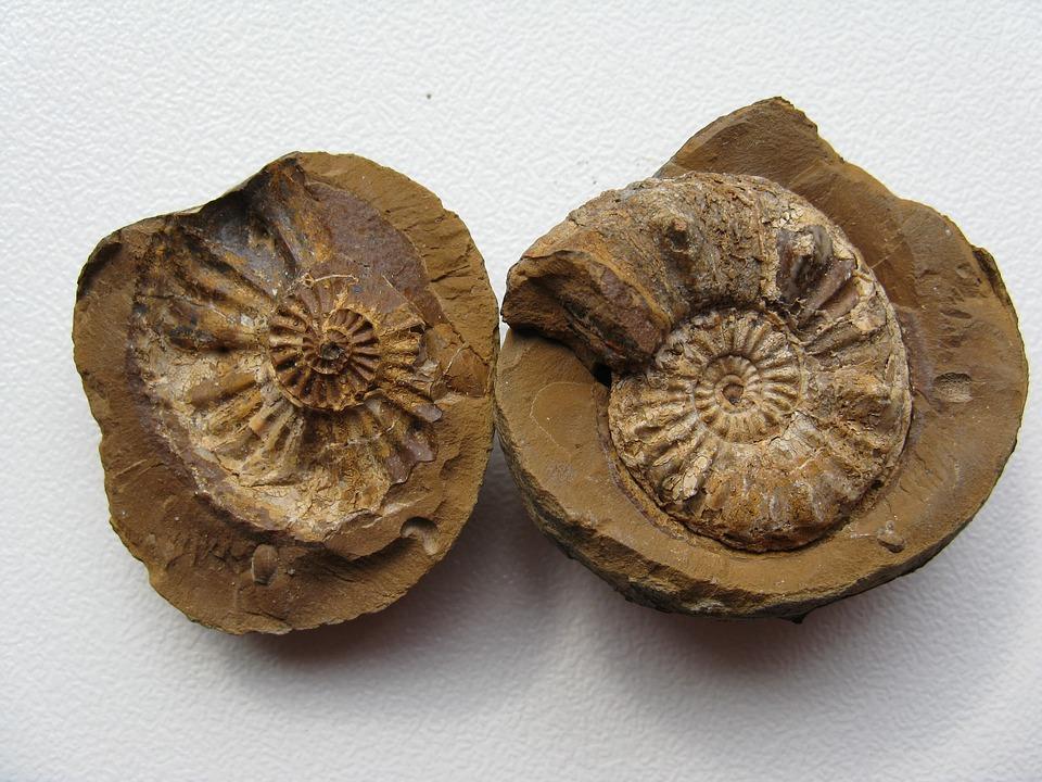 Fósiles de amonitas. Foto: Pixabay