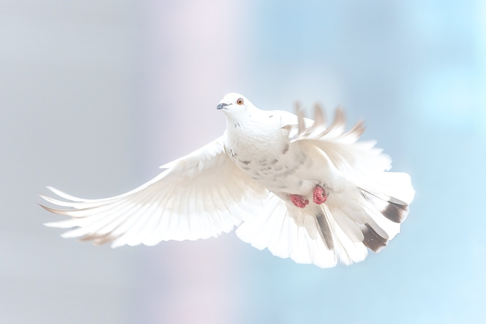 dove-2680487_960_720